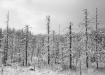 Surnud puud