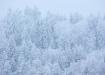 Lumes kuused